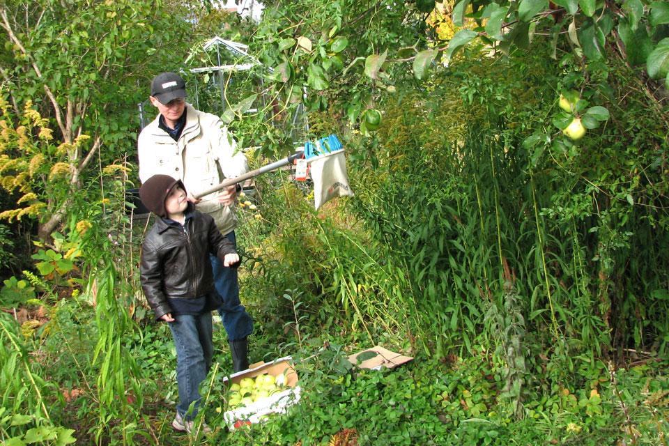 Собираем яблоки Филиппа в саду