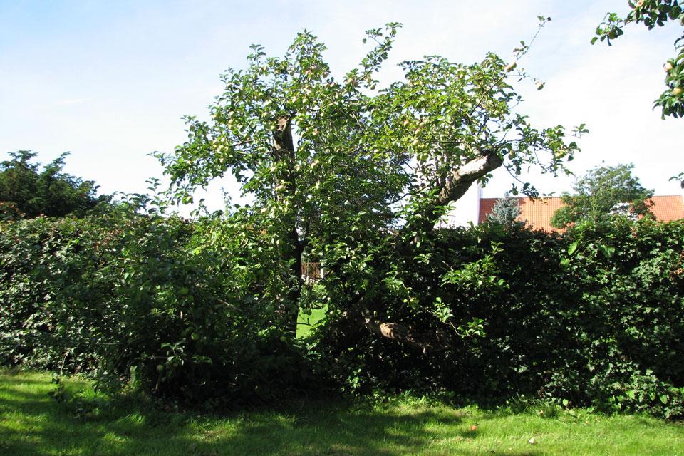 Самая первая яблоня Филиппа во дворе бывшей школы