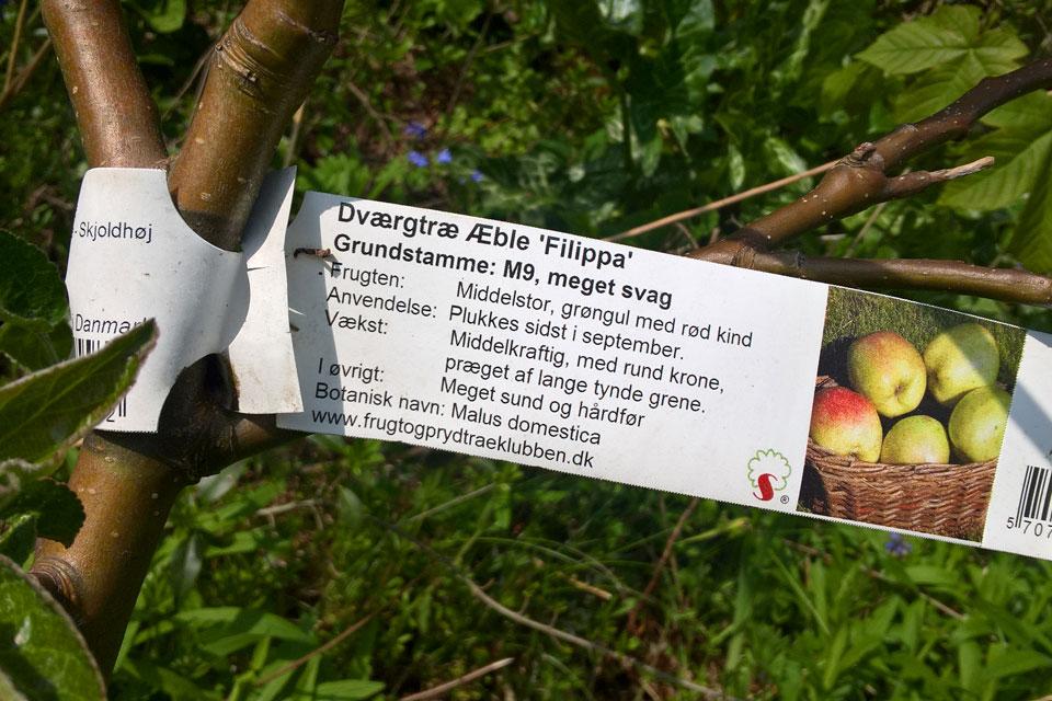 Яблоня сорт Филиппа на карликовом подвое