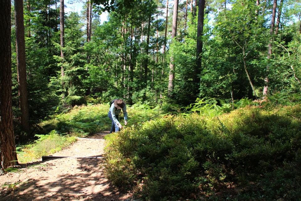 Черника вместе с папопортниками образует подлесок в сосновом лесу