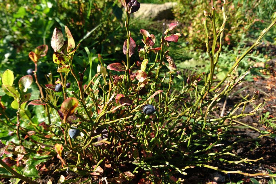Черника обыкновенная Vaccinium myrtillus