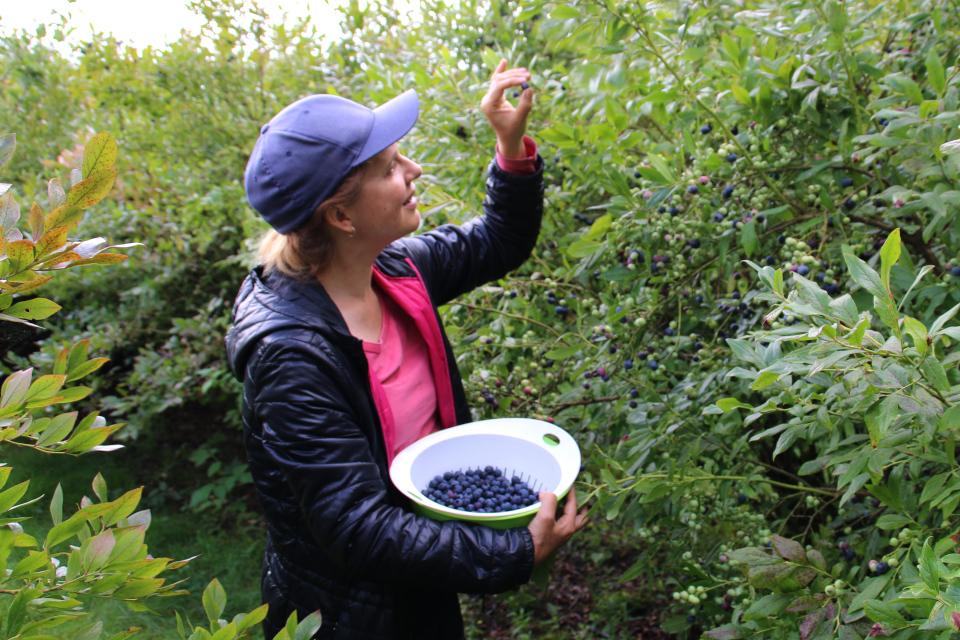 Ягоды коммерческих сортов голубики высокорослой (Vaccinium corymbosum)