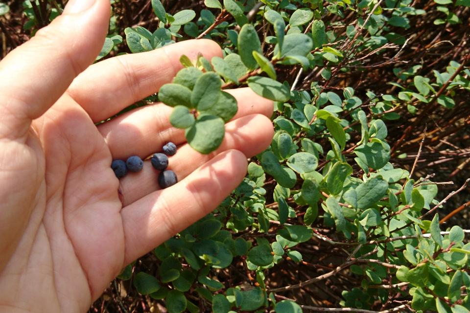 Ягоды голубики обыкновенной (лат. Vaccinium uliginosum) - дикорастущего растения