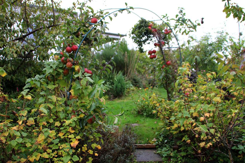 Штамбовая яблоня, сорт Эва Лотта (Eva-Lotta)