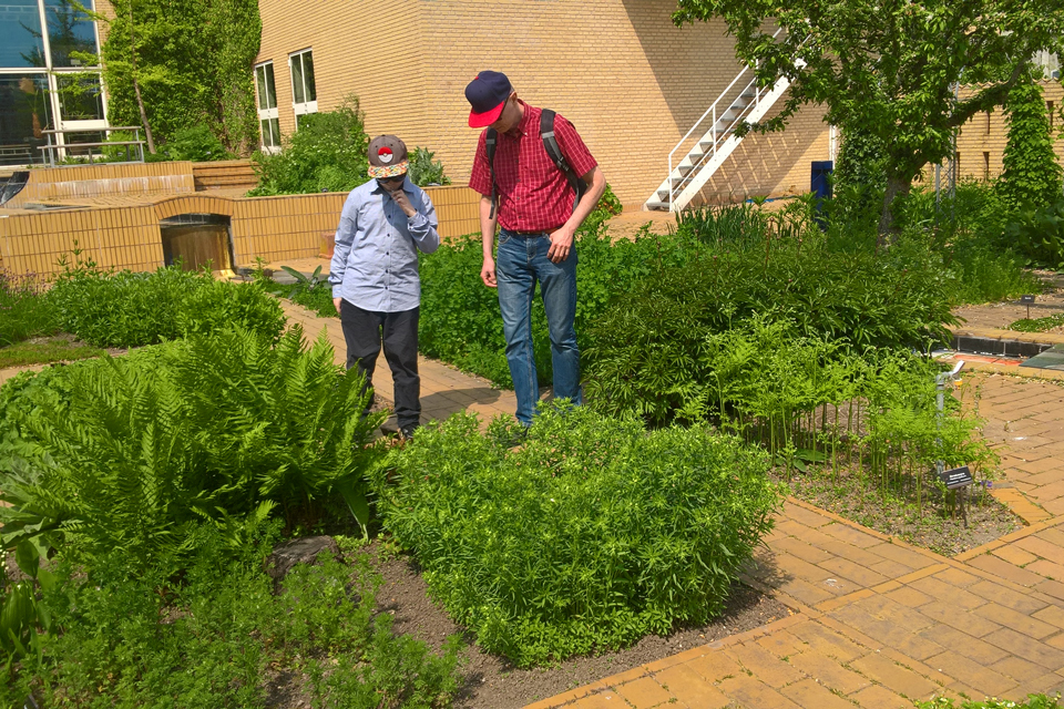 Аптекарский огород Университета г. Орхус, где выращивается конопля