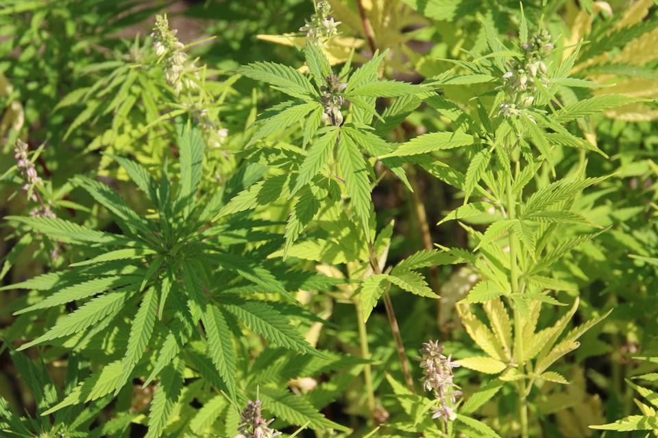 Конопля в Дании. Коноплю в Дании называют растением будущего.