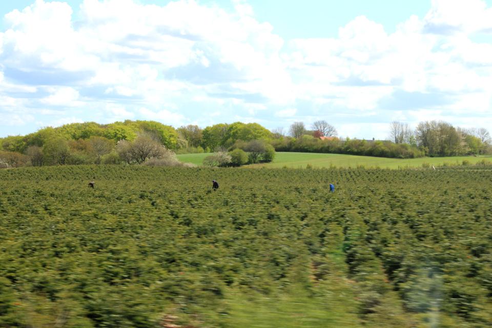 Фермеры за работой на плантации рождественских елок, Дания