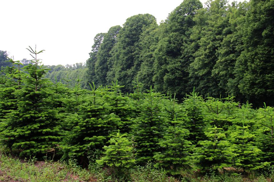 Плантация датских елок