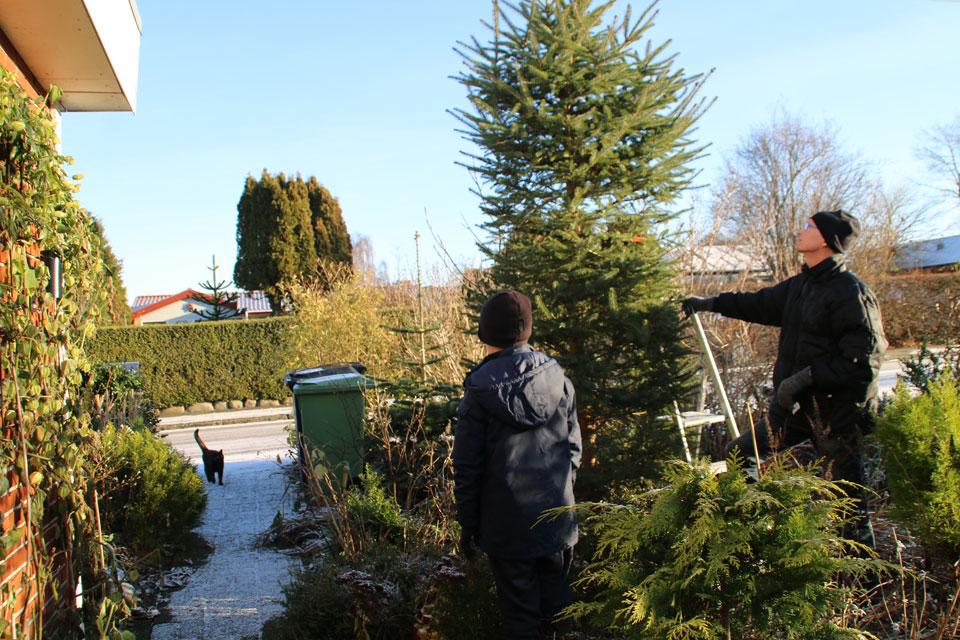 В этом году рождественской елкой из сада стала ель обыкновенная (Picea abies)