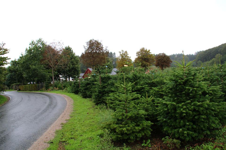 Кавказские пихты растут вдоль дорог.