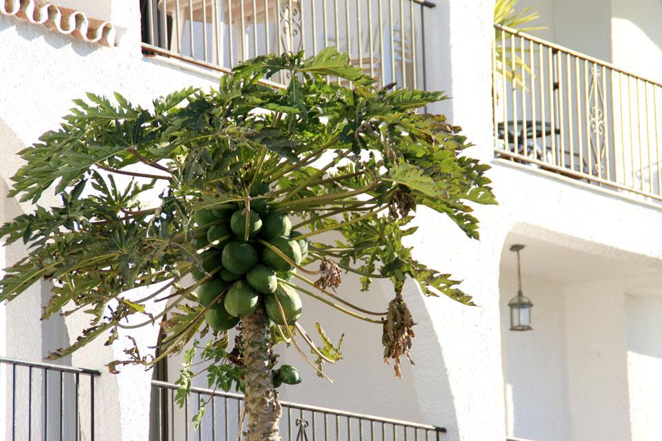 Папайя с плодами