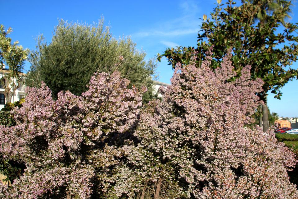 Эрика древовидная (Erica arborea L.)