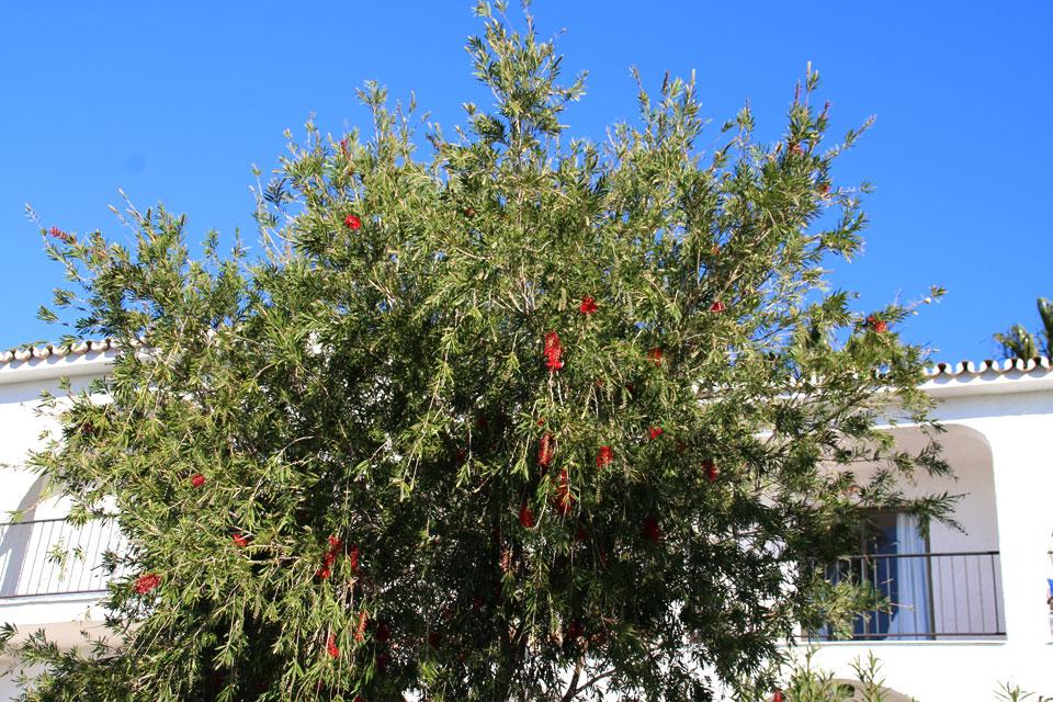 Каллистемон (лат. Callistemon) с ярко красными соцветиями