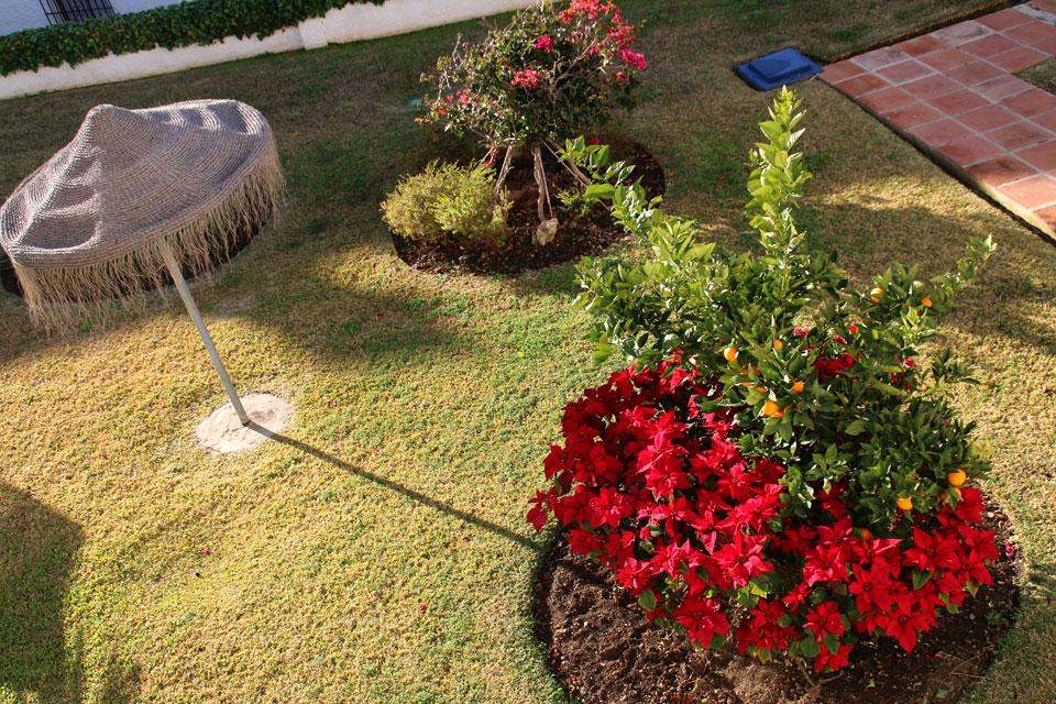 Цветущая пуансеттия в частном саду, Испания