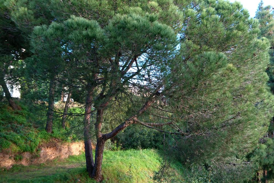 сосна пиния растет возле сада жилищного комплекса коста-дель-соль