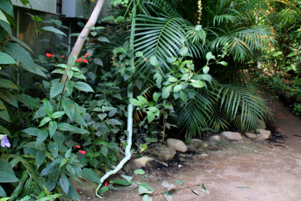 Трихозант змеевидный Огурец змеевидный