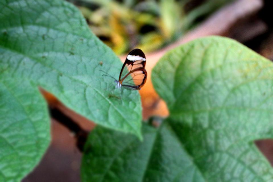 Стеклянная бабочка Грета Ото (Greta oto)