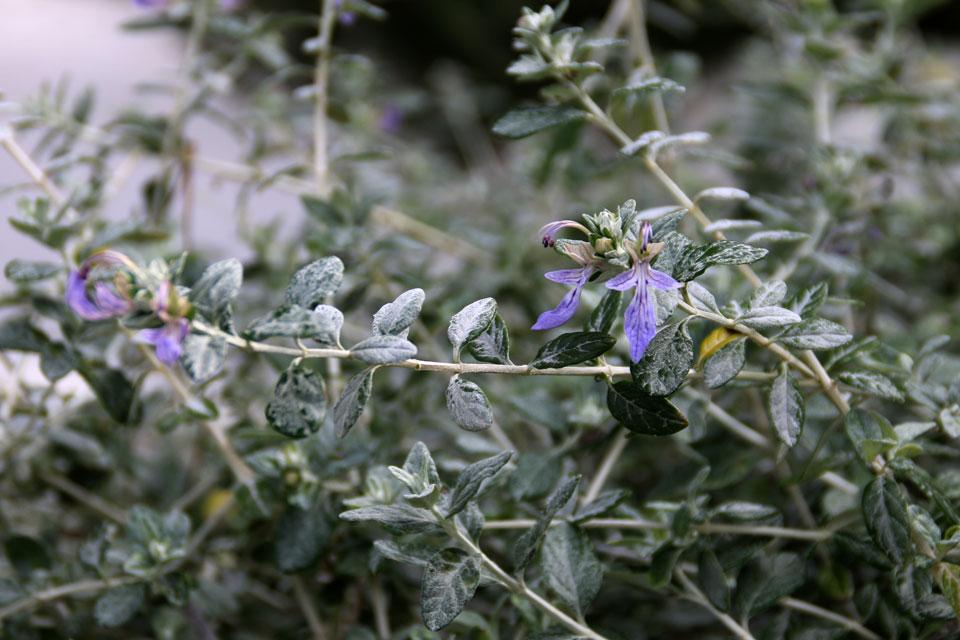 Дубровник кустарниковый (Teucrium fruticans L.)