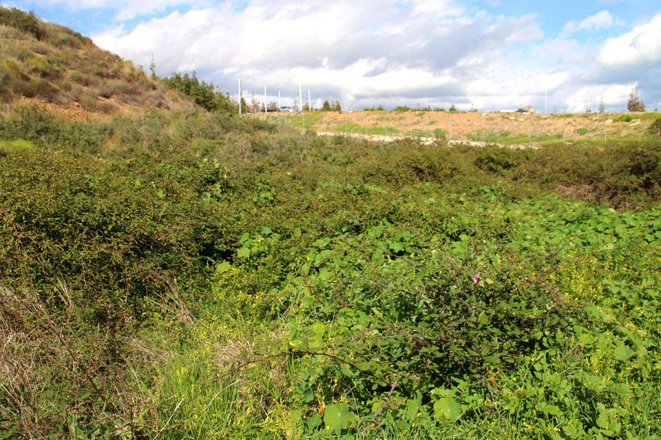 Заросли ежевики (Rubus)