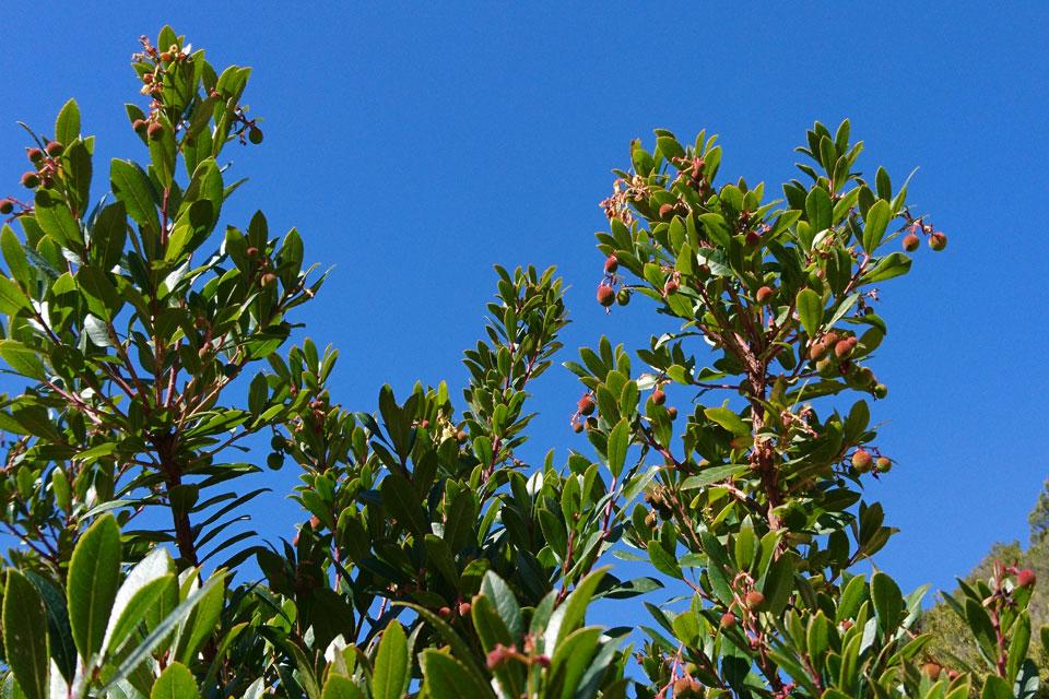 Земляничное дерево, Земляничник, Арбутус (Arbutus unedo)