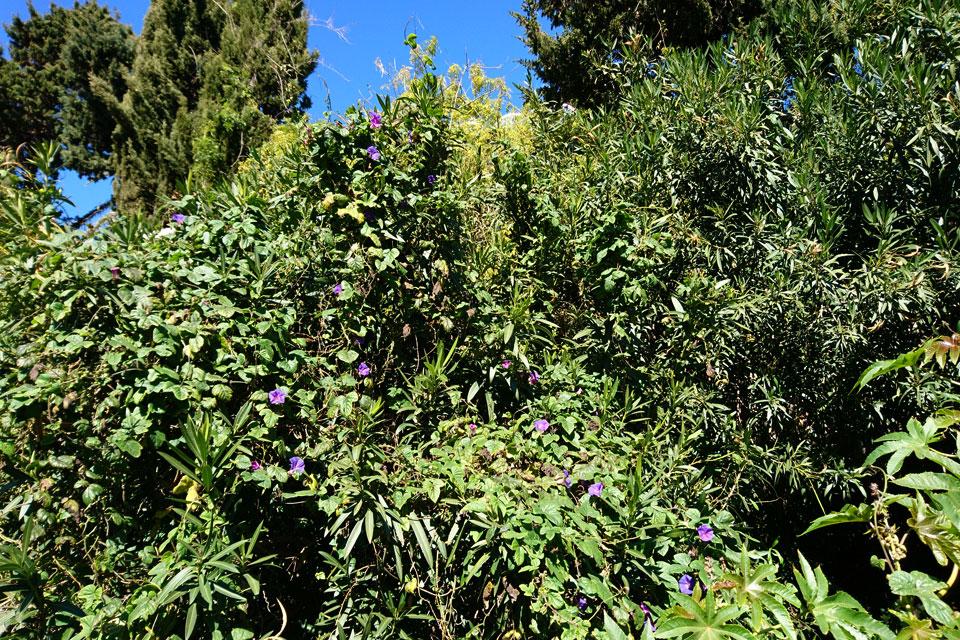 Ипомея (Ipomoea purpure L.)