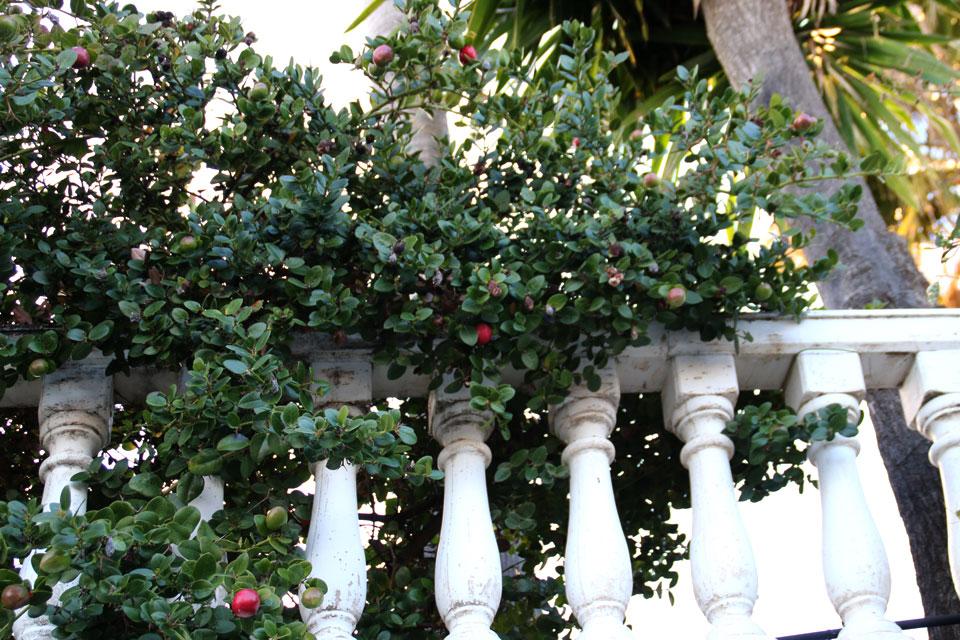 Ягодичная слива Карисса (Carissa macrocarpa)
