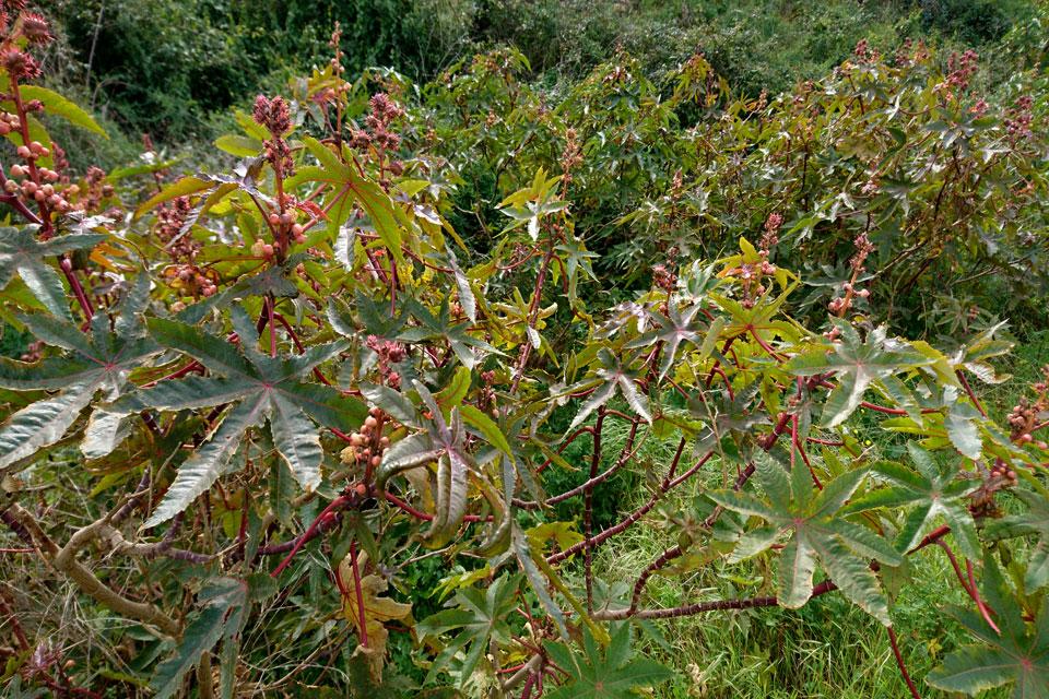 Дикие кусты клещевины (Ricinus communis L.)