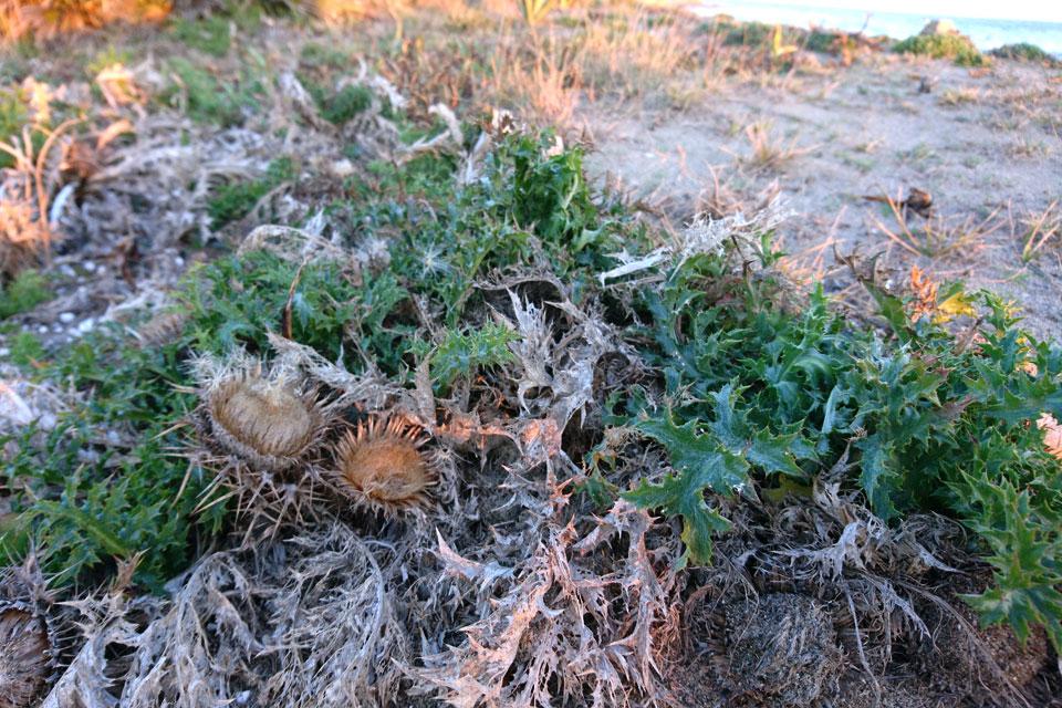 Колючник бесстебельный (Carlina acaulis L.)