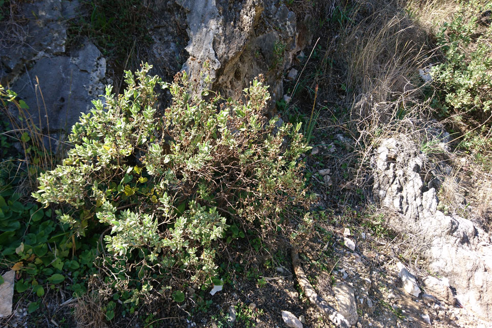 Ладанник шалфеелистный (Cistus salviifolius)