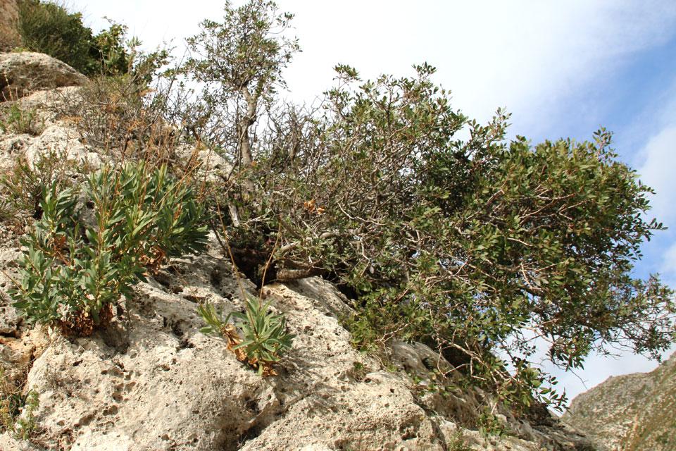 Мастиковое дерево (Pistacia lentiscus