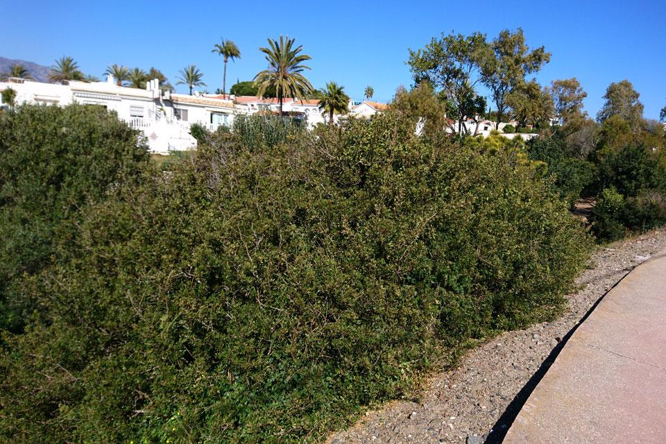 Кусты мастикового дерева (Pistacia lentiscus)