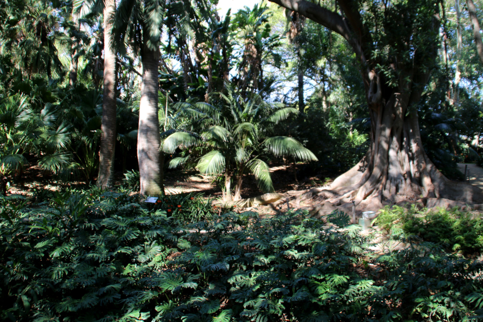 Лианы монстеры деликатесной расползлись по земле, создавая густой почвенный покров