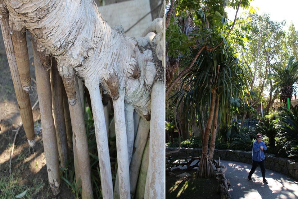 Панданус (Pandanus) образуются ходульные (воздушные) корни