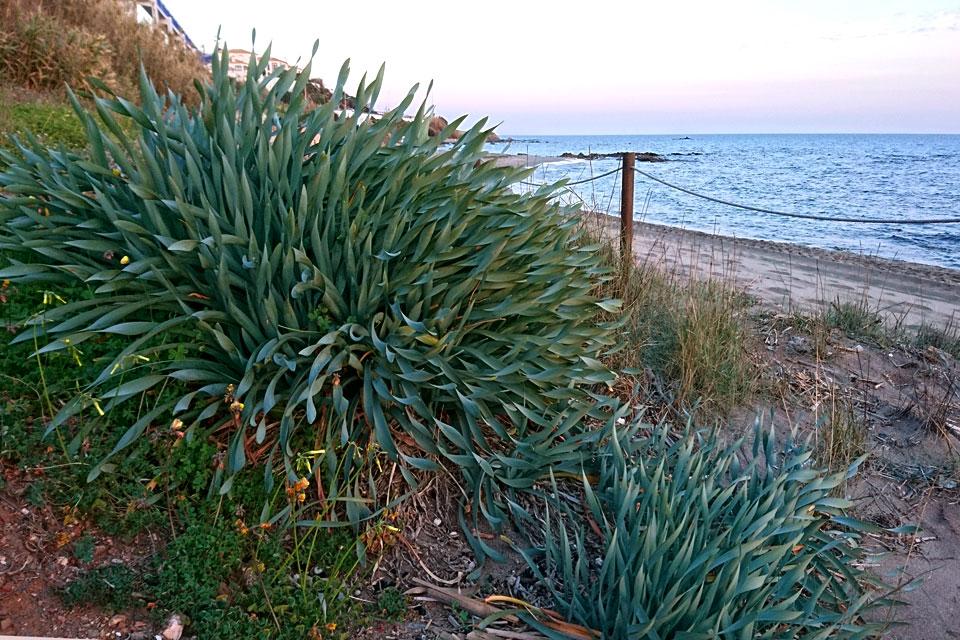 Панкраций морской (Pancratium maritimum L.)