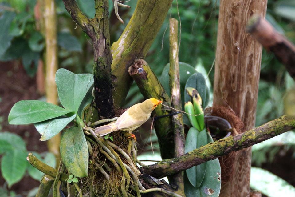 Канарейка собирает сухой материал для постройки гнезда