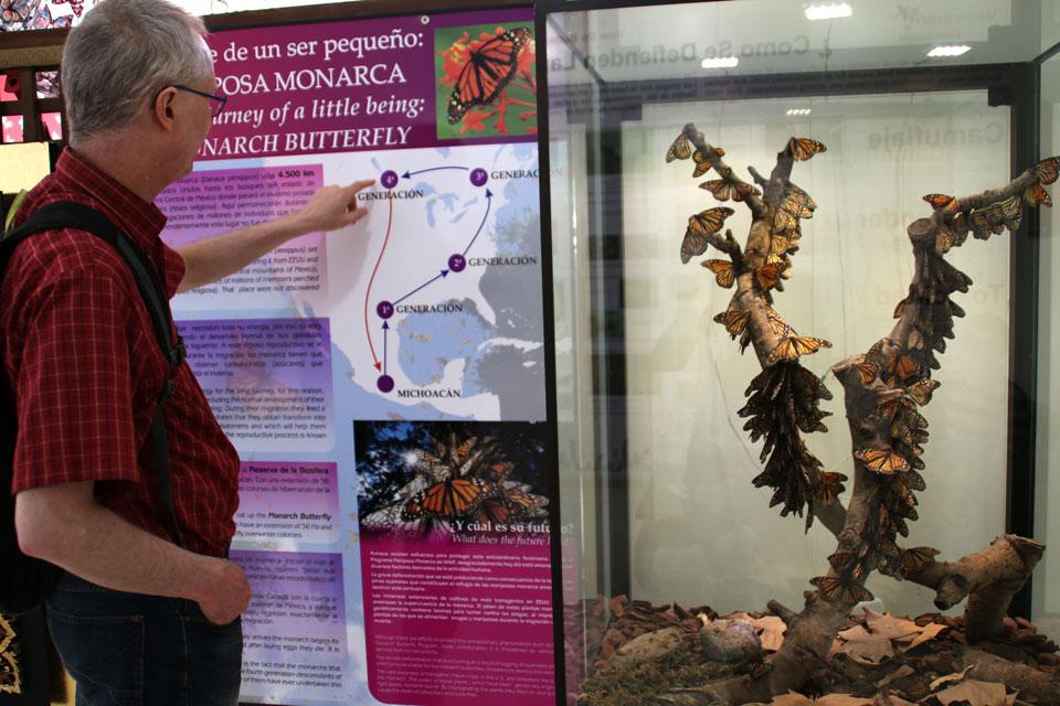Экспозиция в холле здания про путешествия бабочек Данаида монарх (Danaus plexippus)