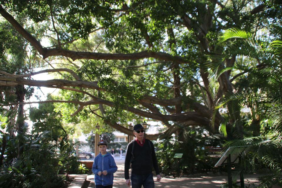 Фикус микрокарпа (Ficus microcarpa)