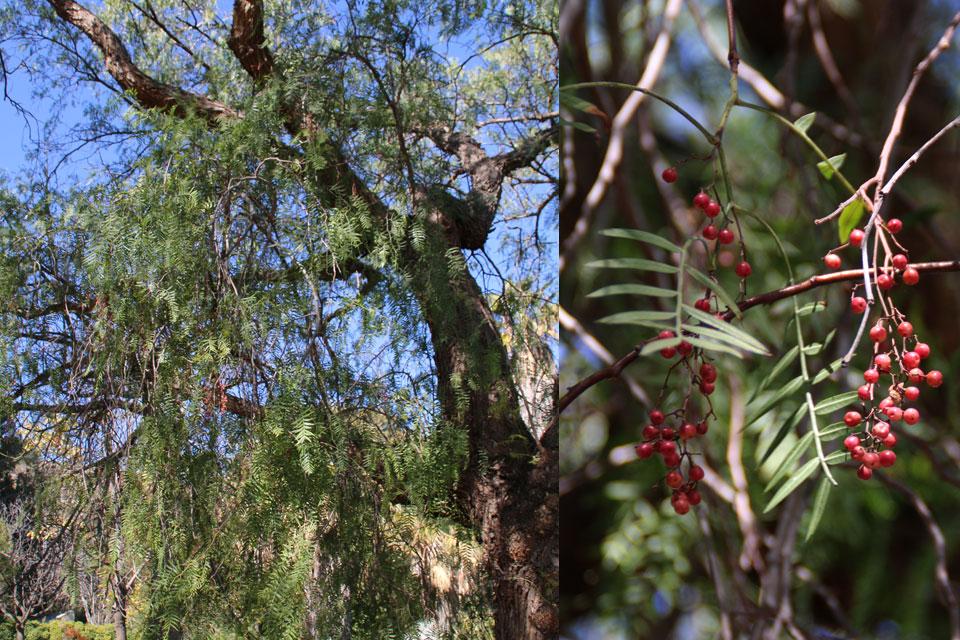 Перуанский перец или Шинус мягкий (Schinus molle) в ботаническом саду г. Малага