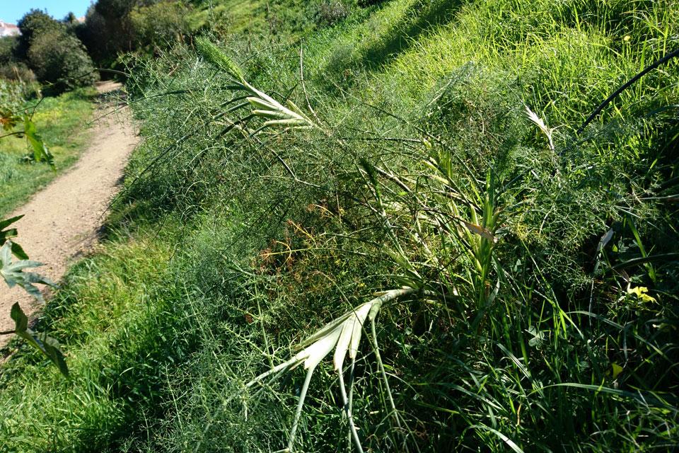Дикий фенхель (Foeniculum vulgare Mill)