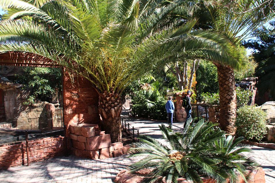 Финиковая пальма (Phoenix) и Саговники (Cycas)