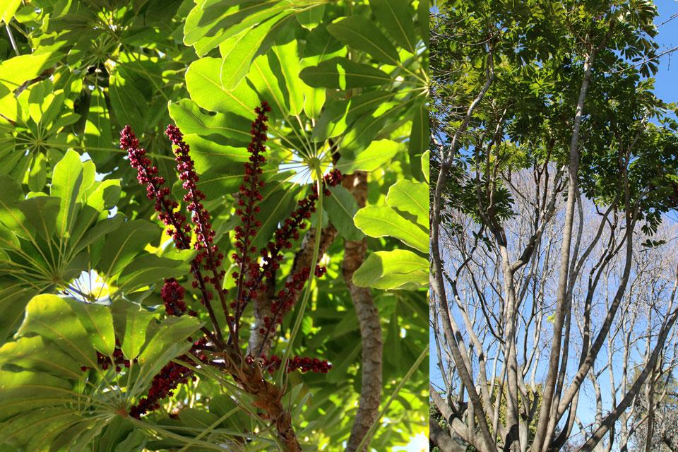 Шеффлера лучелистная (Schefflera actinophylla)