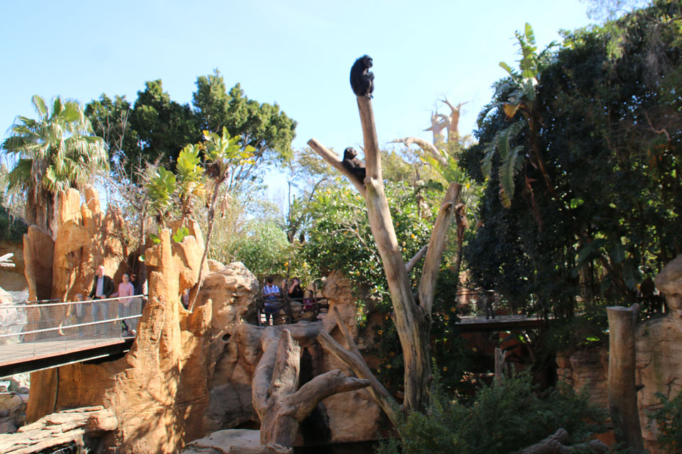Шимпанзе Pan troglodytes