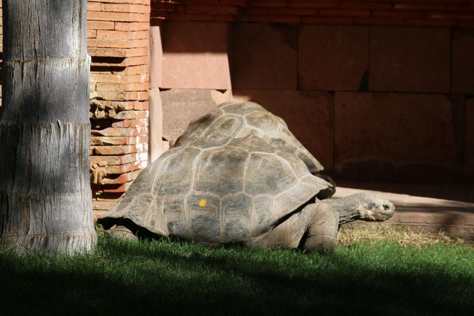 Галапагосская черепаха (Chelonoidis elephantopus)