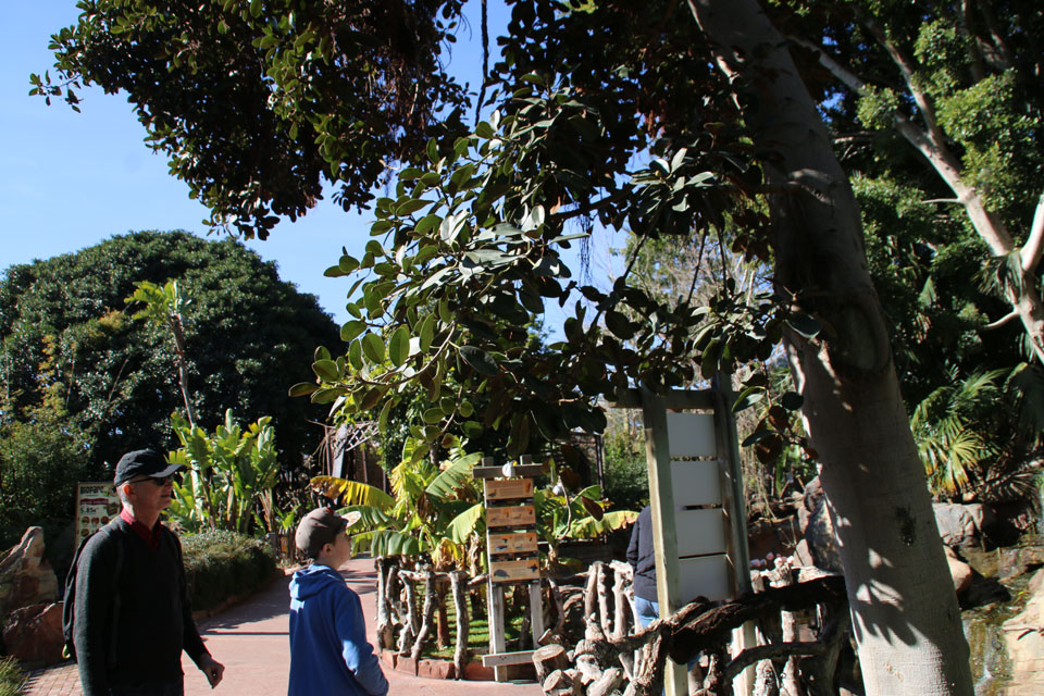 возле роскошного каучукового фикуса, или Фикус эластика (Ficus elastica)