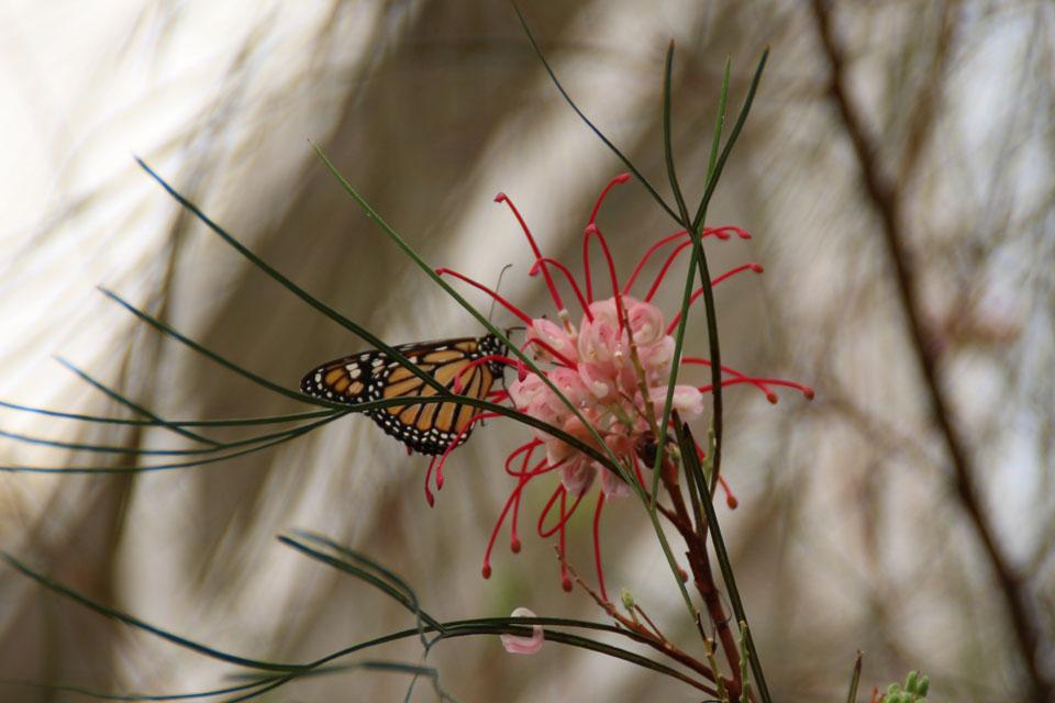 бабочка Монарх питается нектаром цветов Гревиллея