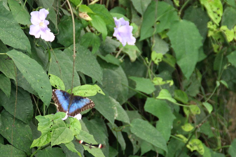 Бабочка Морфо Пелеида (Morpho peleides)