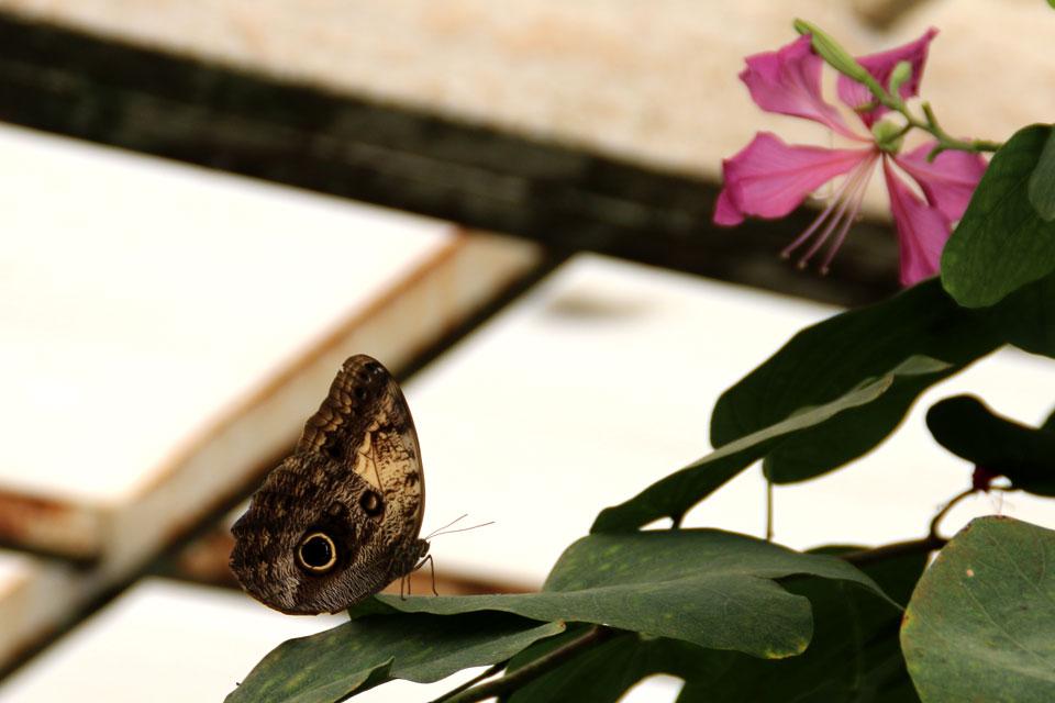 Совиная бабочка (Caligo memnon)