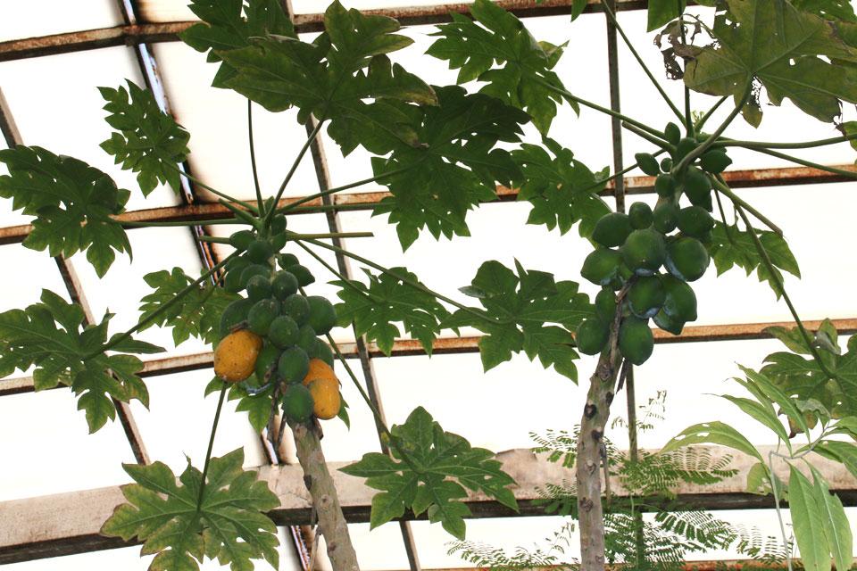 папайя (Carica papaya)
