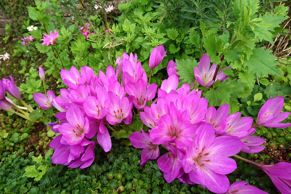 Цветущий безвременник, Colchicum autumnale