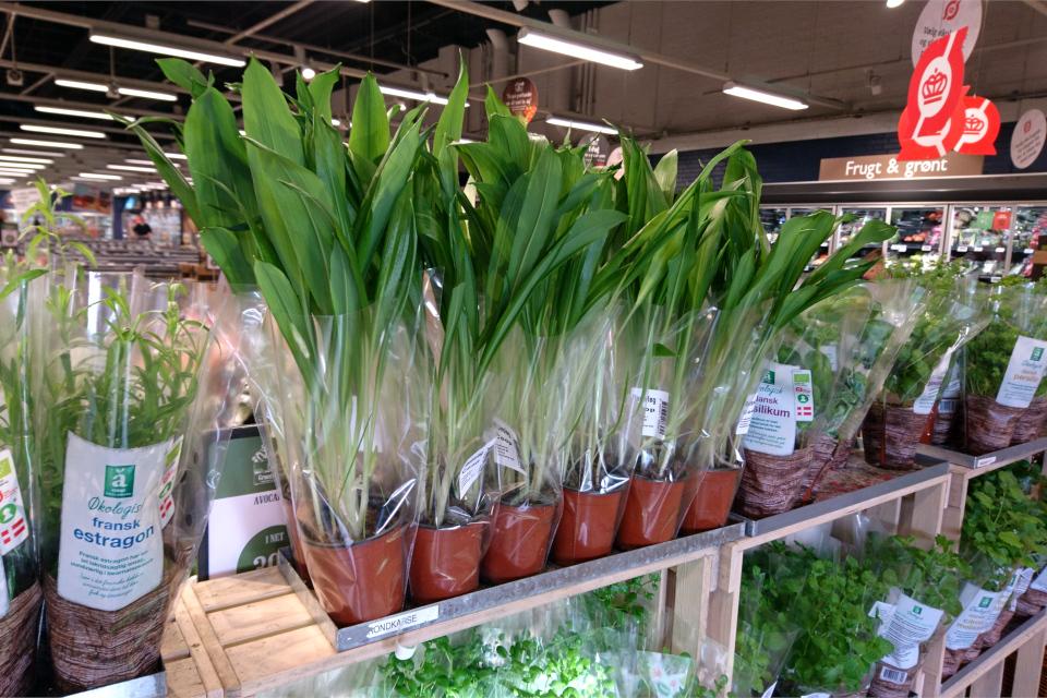 Свежая черемша в горшочках в супермаркете, Дания. Фото 28 фев. 2020